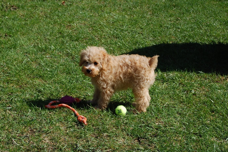 Teddy Bear Schnoodle Puppies Images & Pictures - Becuo